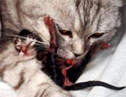 Кошки роды у кошки подготовка к