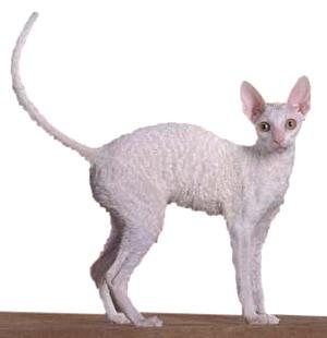 Породы котов корниш рекса