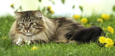 Самые большие коты в мире!