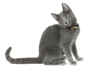 Как вязать русскую голубую кошку