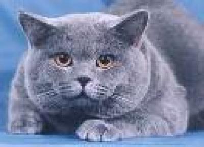 Питомник кошек британская грация