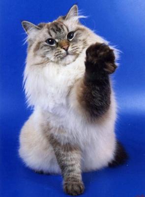 Елизавета Жемчуг Невы Сибирская (Невская маскарадная) кошка (SIB)