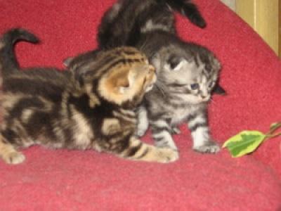 Вислоухие котята, Британские котята, продажа котят из питомника .фото котят.