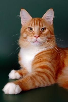 о кошках, котах и котятах Мэйкун фото Котята мэйкун Фото мэйкуна.