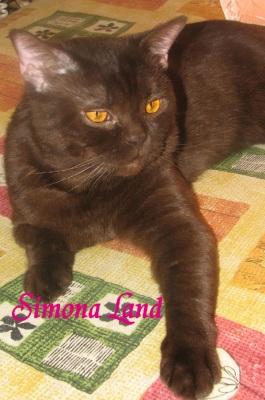 Породы кошек британская голубая