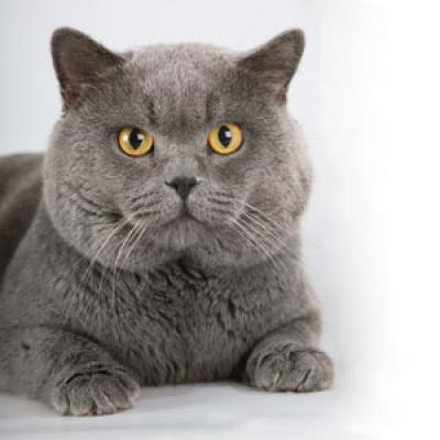 Кошка шотландская вислоухая ижевск