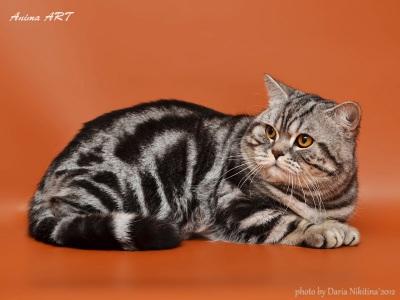 Питомники британского кота