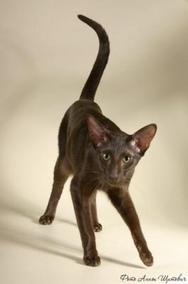 Кошка ориентальная короткошерстная, окрас гавана (OSH b) Gull'veig D'er...