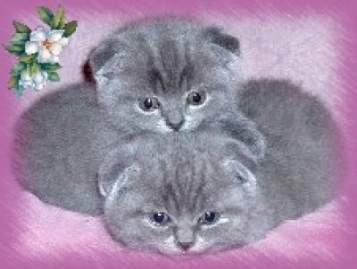 вислоухих кошек запорожье