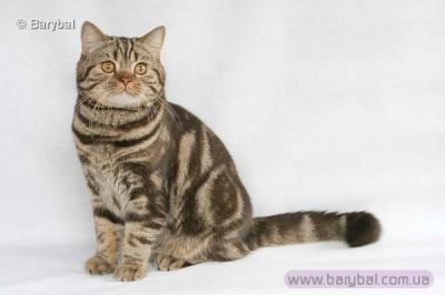 Кошки британская кошка одесса