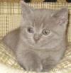 """Питомник британских короткошерстных кошек  """"RoUm """"."""