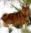 Охотничья собака - карело-финская лайка.  Фото собаки.